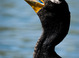 Double-crested Cormorant taken April 2, 2016 at Crystal Springs Rhododendron Garden, OR